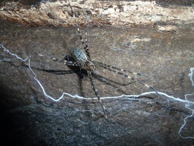 how to get rid of long legged sac spider