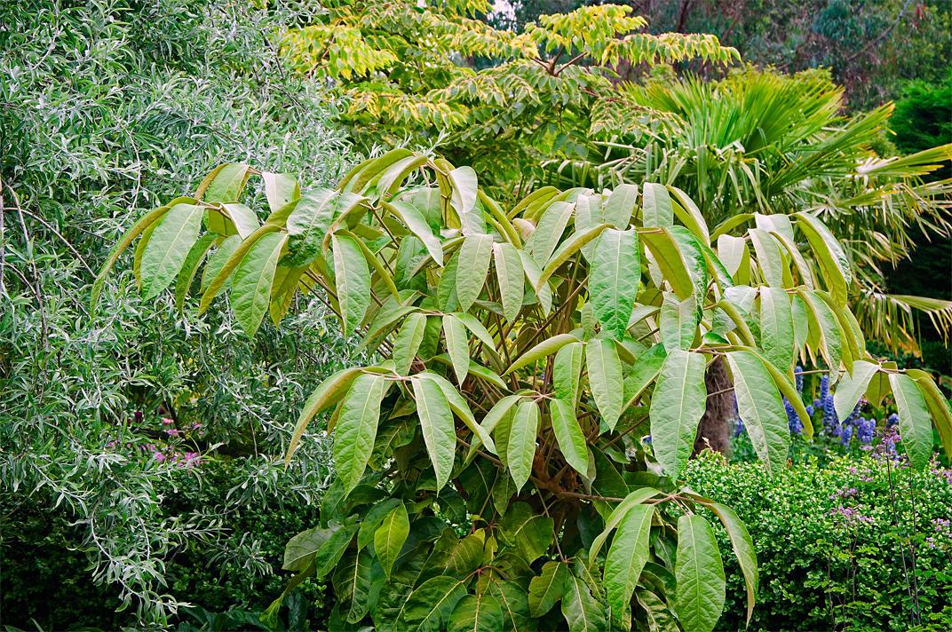 Linda cochran 39 s garden hardy scheffleras - Hardy houseplants ...