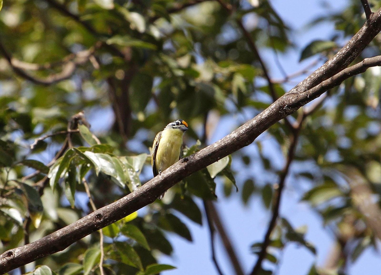 yellow-fronted tinkerbird (Pogoniulus chrysoconus) in the botanical garden Bakau