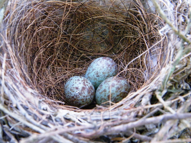 Inside Bird Eggs Birdsong from inside the egg,