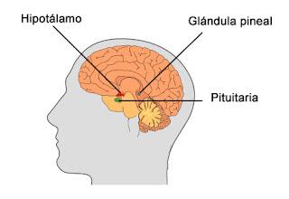 Hipotálamo, pituitaria (hipófisis) y glándula pineal del cerebro