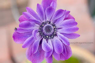 Purple Anemone Photo