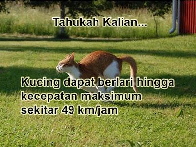 Kucing dapat berlari hingga 49 km/jam