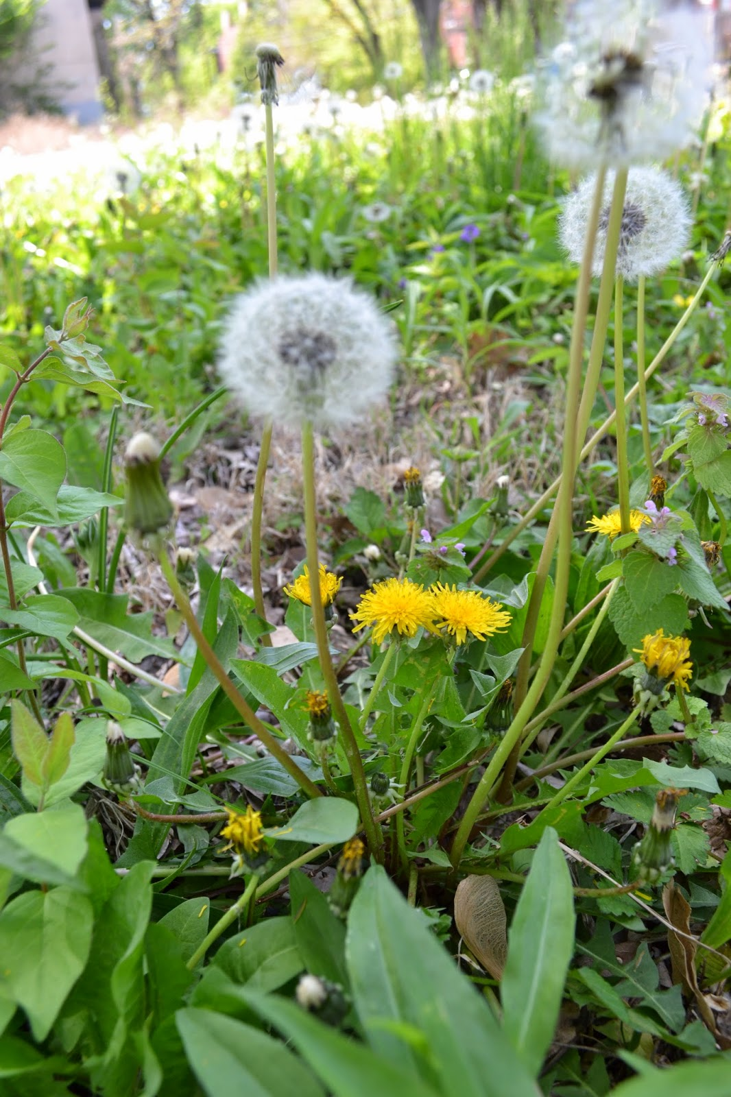 Health benefits of dandelion leaf and root.  Dandelions contain vitamins A, C, K, minerals, and flavanols
