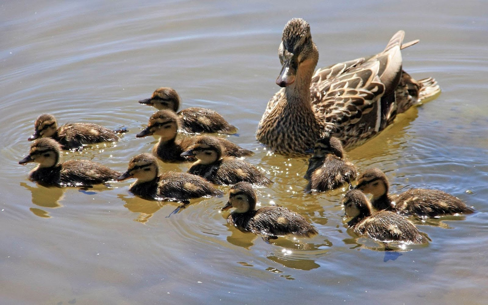 http://2.bp.blogspot.com/-xwWlvnRfD04/UDkOAaZlmRI/AAAAAAAABGg/wHucYgSl1SQ/s1600/hd-ducks-wallpaper-with-swimming-ducks-wallpapers-backgrounds-pictures-photos.jpg