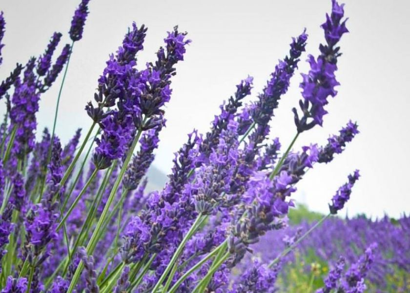 A blog of scenic nature beautiful creations of god for Jardines de lavanda