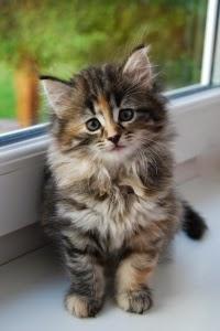 Kucing Bukan Penyebar Tunggal Toxoplasma