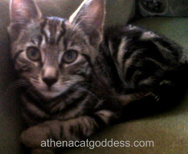 Athena as a kitten