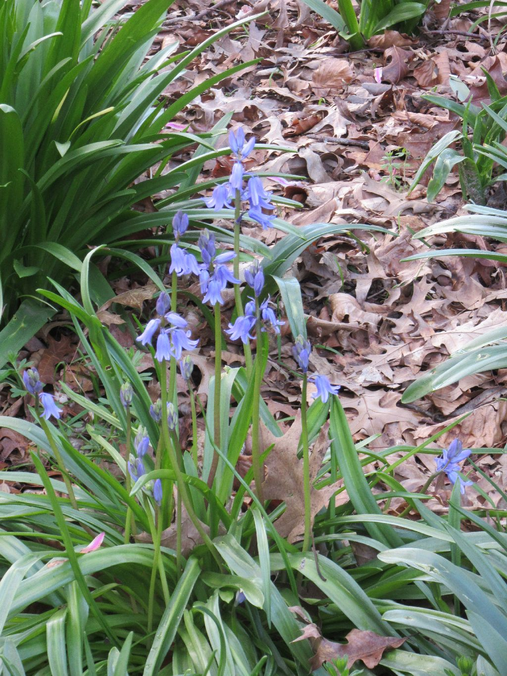 Rolands Wood Bluebell Time Is Coming