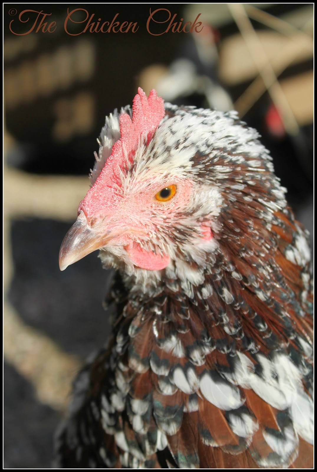 Kate-Speckled Sussex hen.
