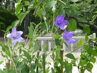 天満宮のキキョウの花。