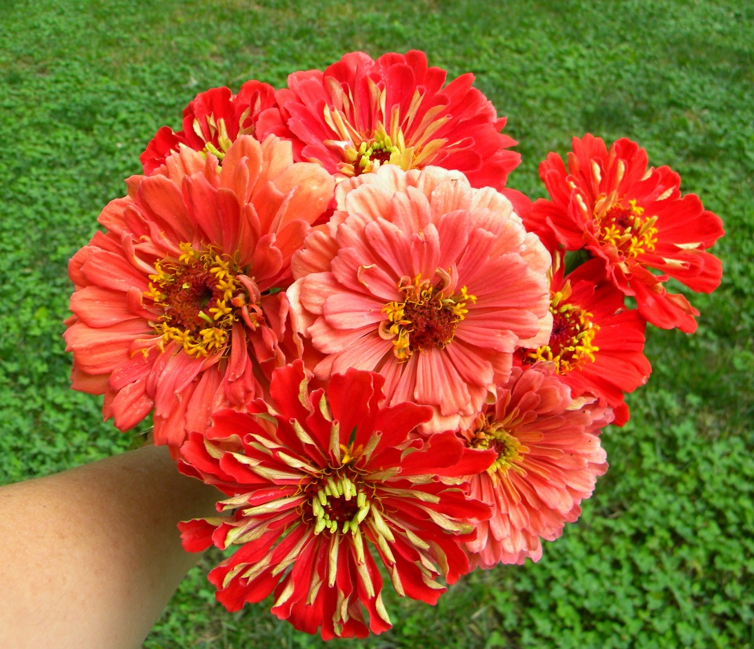 Wedding Flowers from Springwell: Zinnias for Summer Weddings