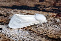 Latest New Macro Moth Species - Fall Webworm Moth