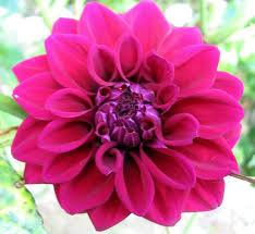 gambar bunga dahlia