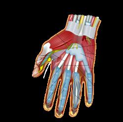 la mano por dentro