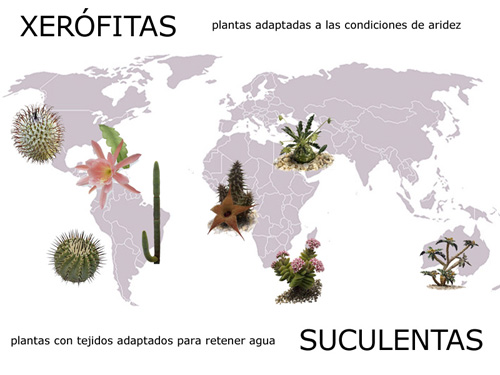 Distribución mundial de las plantas Xerófitas Suculenta s