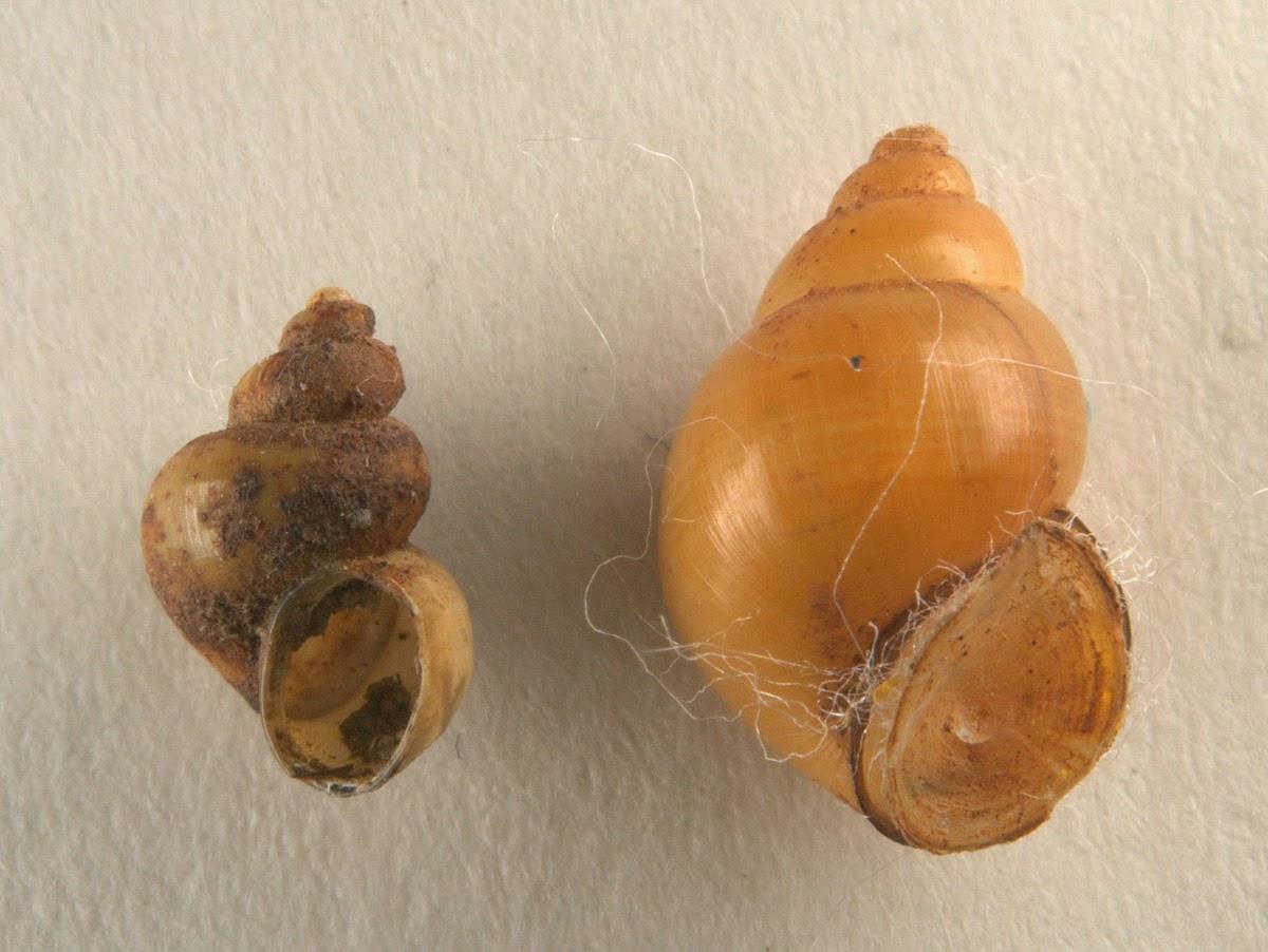 confronto fra Bithynia tentaculata e Bithynia leachii