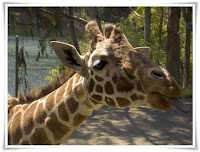 Giraffe Animal Pictures