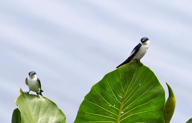 As incríveis andorinhas-do-rio