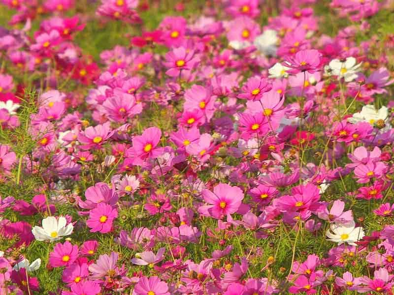 field of cosmos flowers in bloom