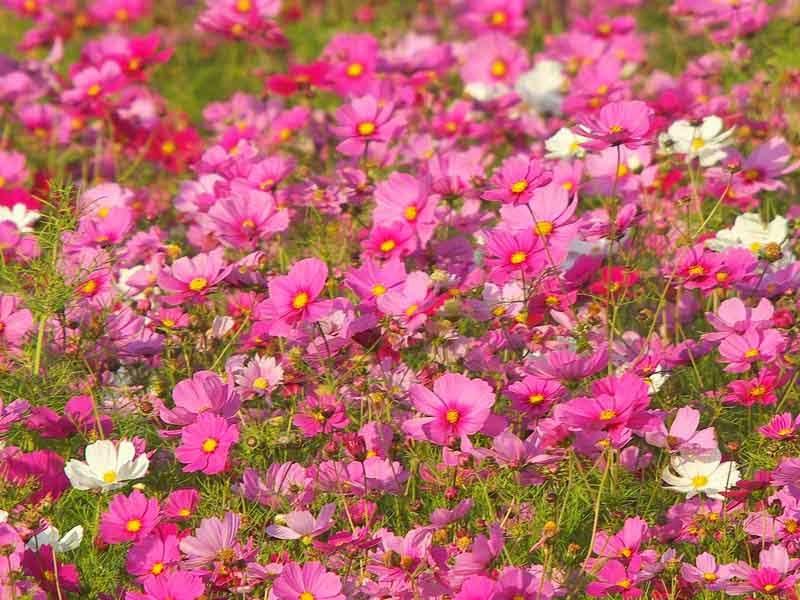 field of cosmos flowers in bloom