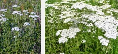 yarrow herbal medicine