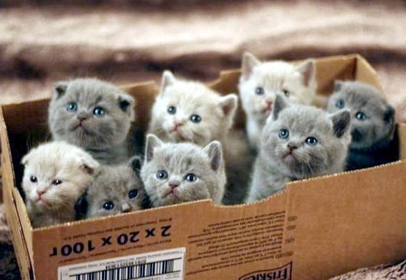 A box filled with cute persian kittens