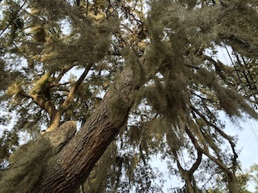 Chuck and Lori's Travel Blog - Moss-Covered Oaks in Panama City