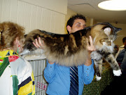A Large Giant Maine Coon Cat Picture