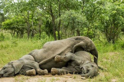 Konsumsi Buah Marula, Gajah-gajah Ini Mabuk Berat