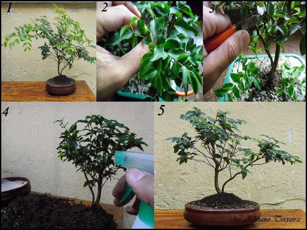 Bonsaiclik como cuidar e cultivar seu bonsai tarefas - Como cuidar bonsais ...