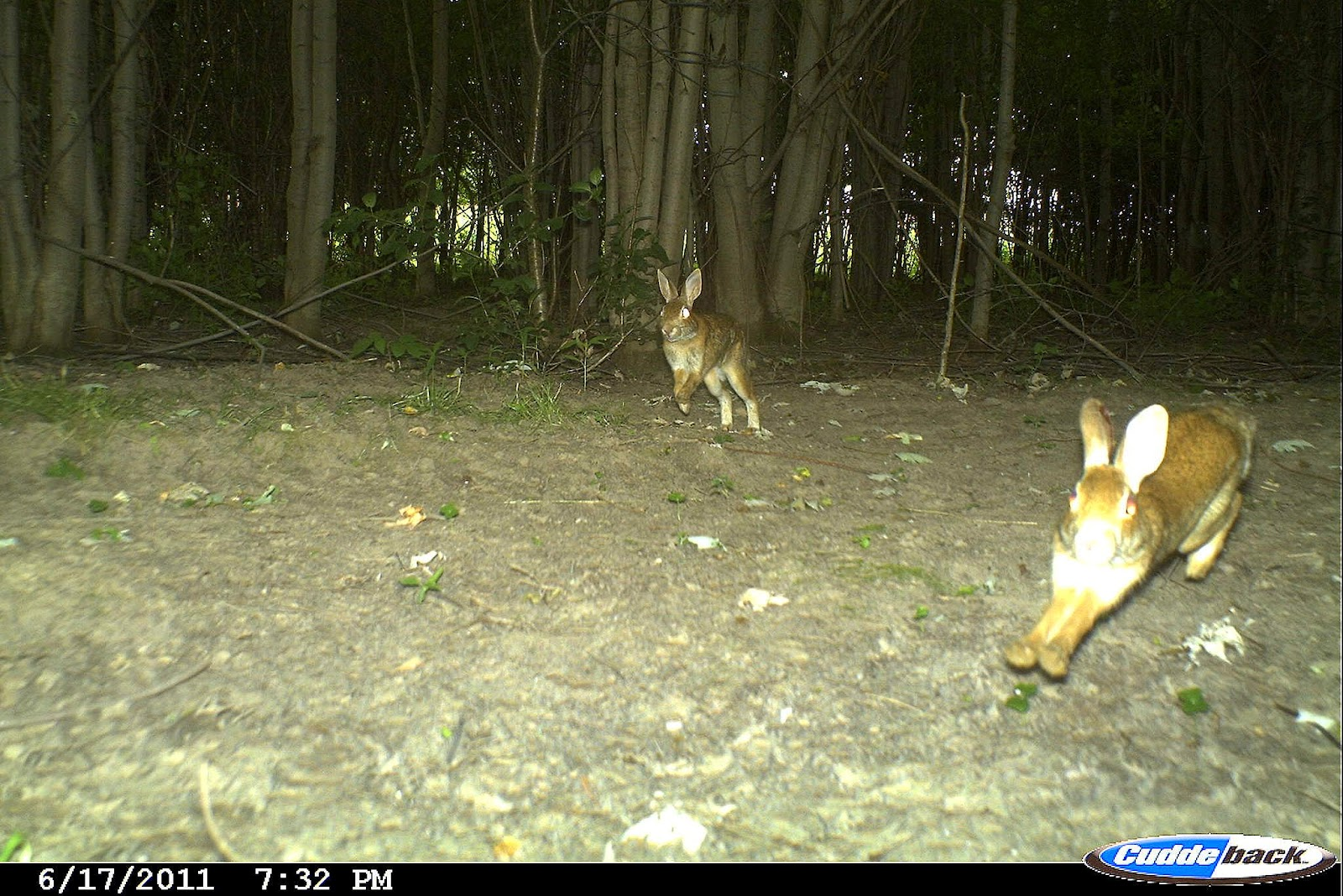 backyard beasts feral cat on the camera trap