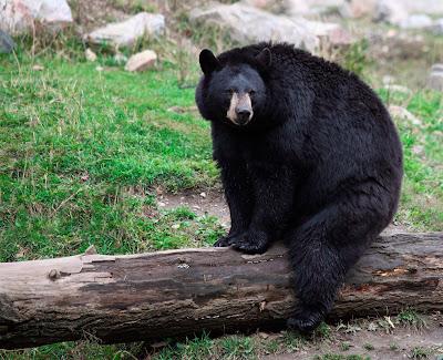Oso negro enorme que vive en las montañas