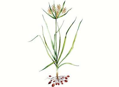 Растение чуфа
