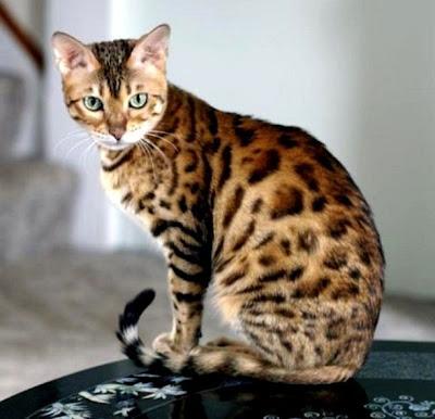 Gambar Kucing Jambi