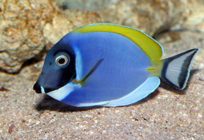 The beauty powder blue tang for Blue tang fish facts