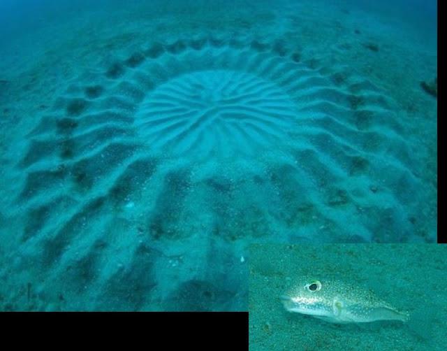 Japan-Tiny-Pupperfish