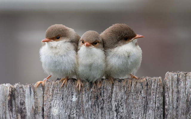 Angry Looking Cute Little Birds HD Wallpaper