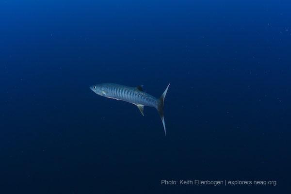 Great Barracuda Finding Nemo