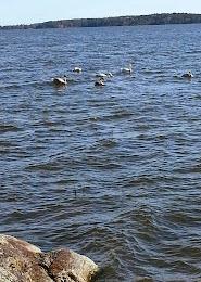 Six swans .....