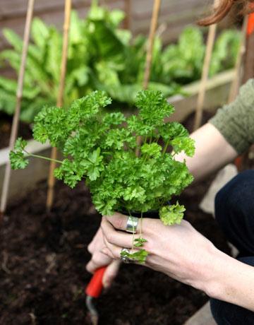 النصائح للزراعة المنزلية محدود planting-parsley-bed-lg.jpg