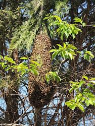 Santa Rosa Swarm Removal Information