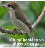 Chim Chao Mao, Chim Vanh Khuyen Nau