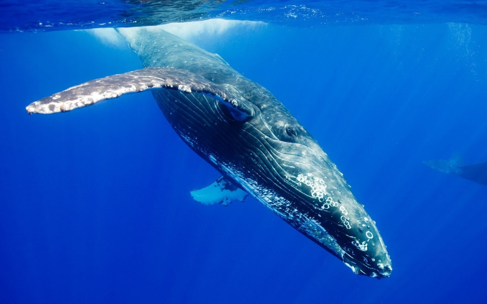 blue whale Blue whale - a vulnerable underwater heavyweight protect endangered species at world wildlife fund learn about the various wild animal protection programs we have.