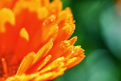 Caléndula anaranjada