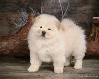 Chow Chow Dog HD Wallpapers, chow chow breed,