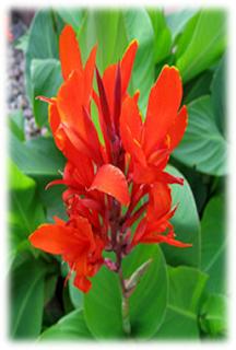 Bunga Tasbih  (Canna indica)