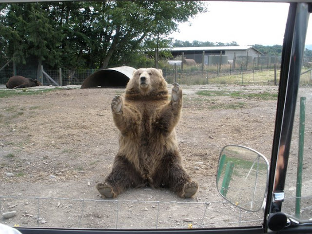 This bear wants you to hug him, funny bear, funny animals, funny bear picture