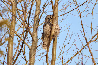 Barred Owl #3