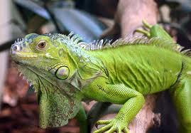 Iguanas images